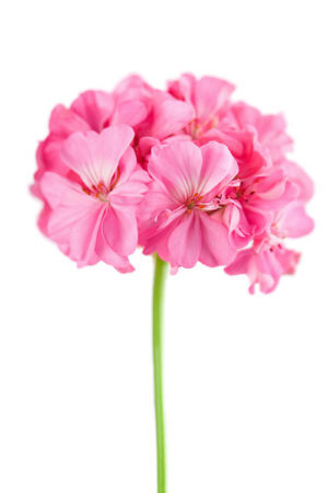 pink geranium flower isolated over white background